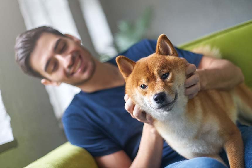 Shiba Inu are fun to be around even when they are shedding