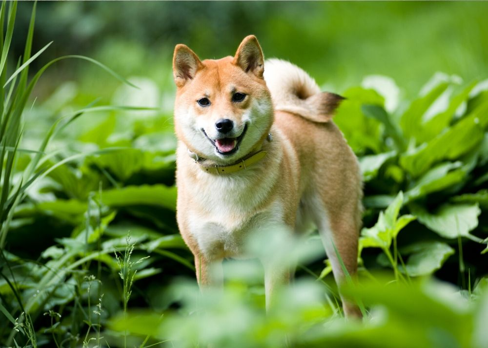Pros and cons should be analysed before getting a Shiba Inu
