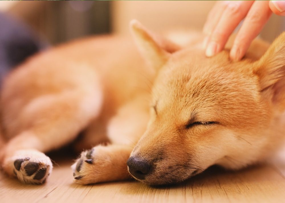 Shiba Inu are fantastic fur-shredders.