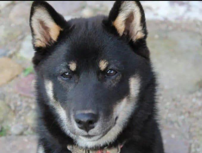 Shiba Inu puppiesShiba Inu for saleShiba Inu priceShiba Inu costShiba Inu rescueShiba Inu adoptionCute Shiba InuBaby Shiba InuSesame Shiba InuShiba Inu