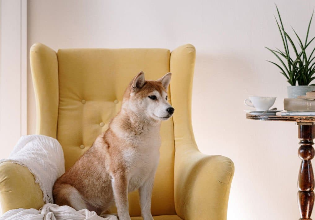 beautiful shiba inu sitting on the sofa
