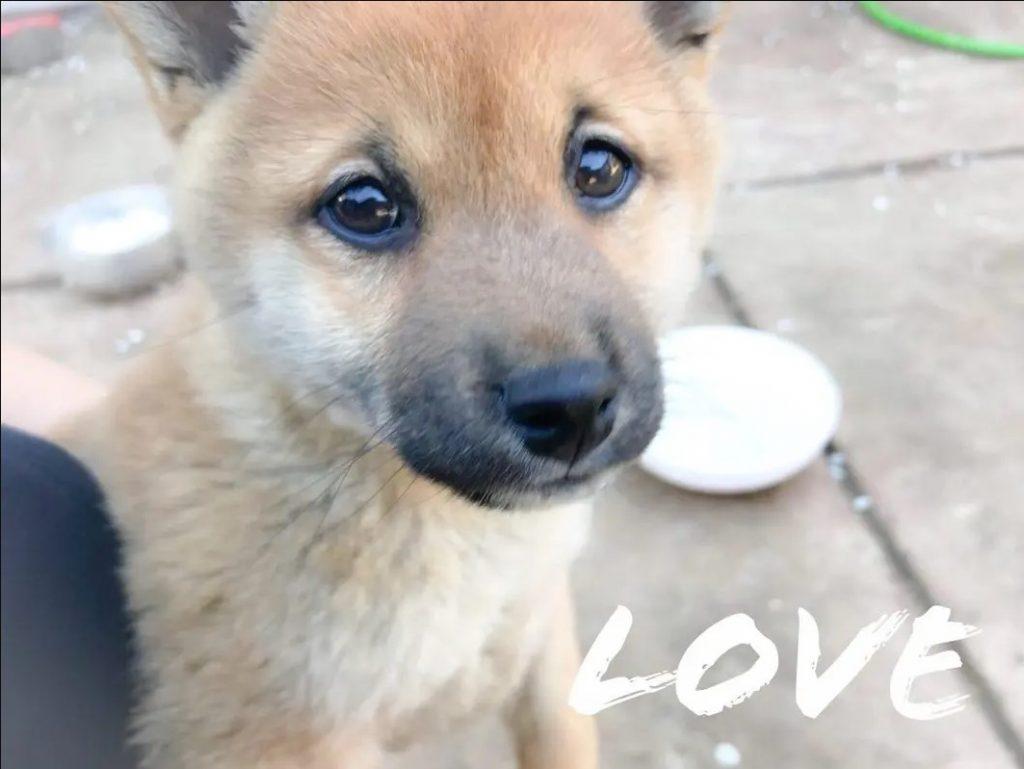 A cute shiba inu puppy