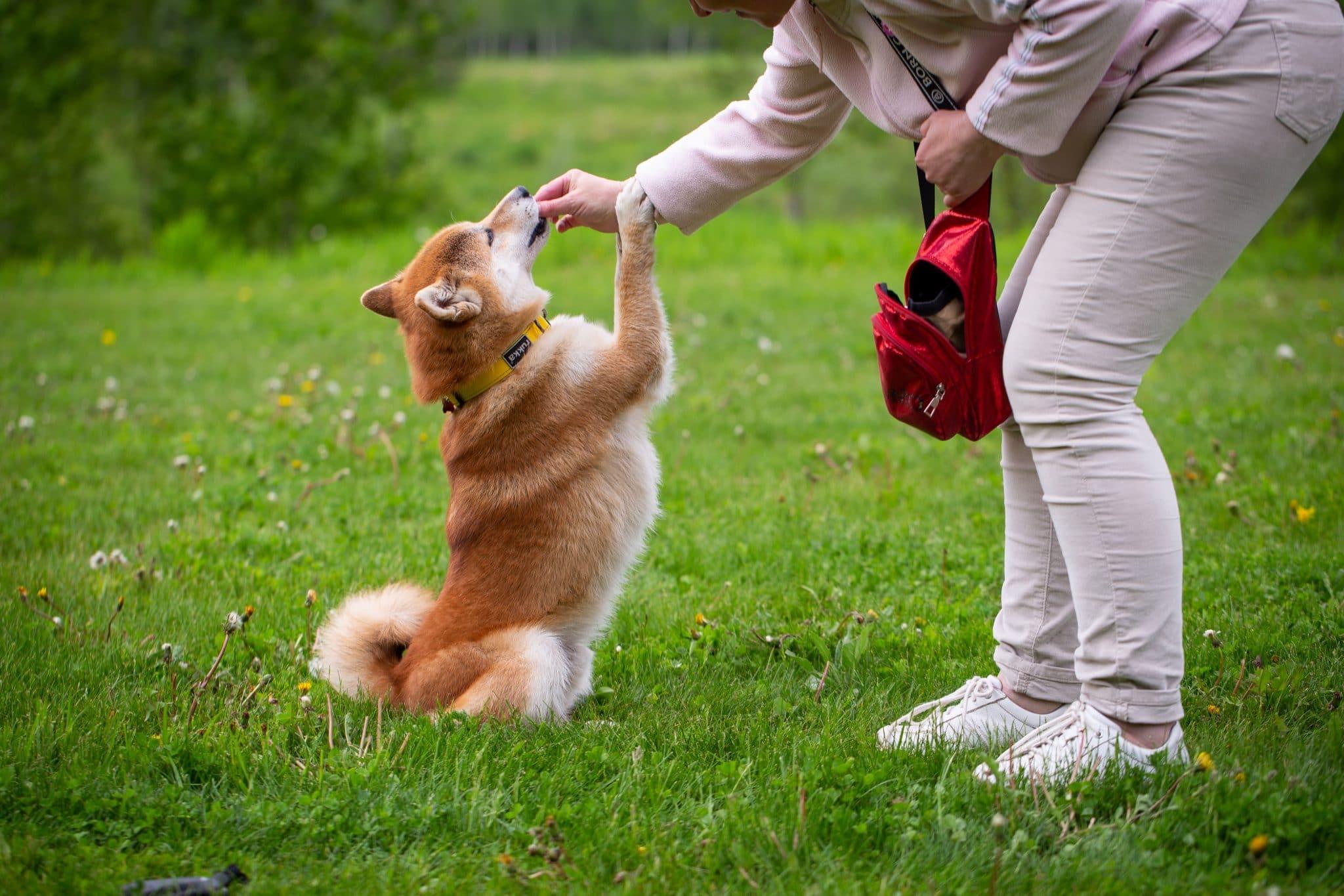 shiba inu training with treats