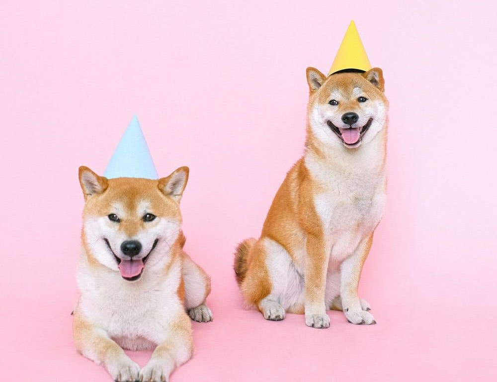 two cute shiba inu wearing party hat