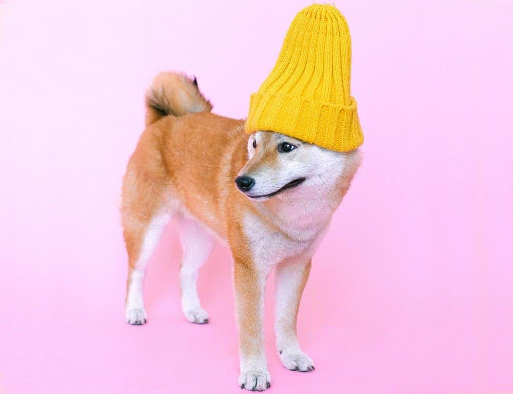 Shiba Inu wearing yellow hat