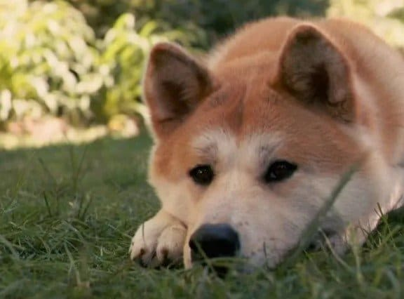 Adorable red shiba inu laying down on the ground