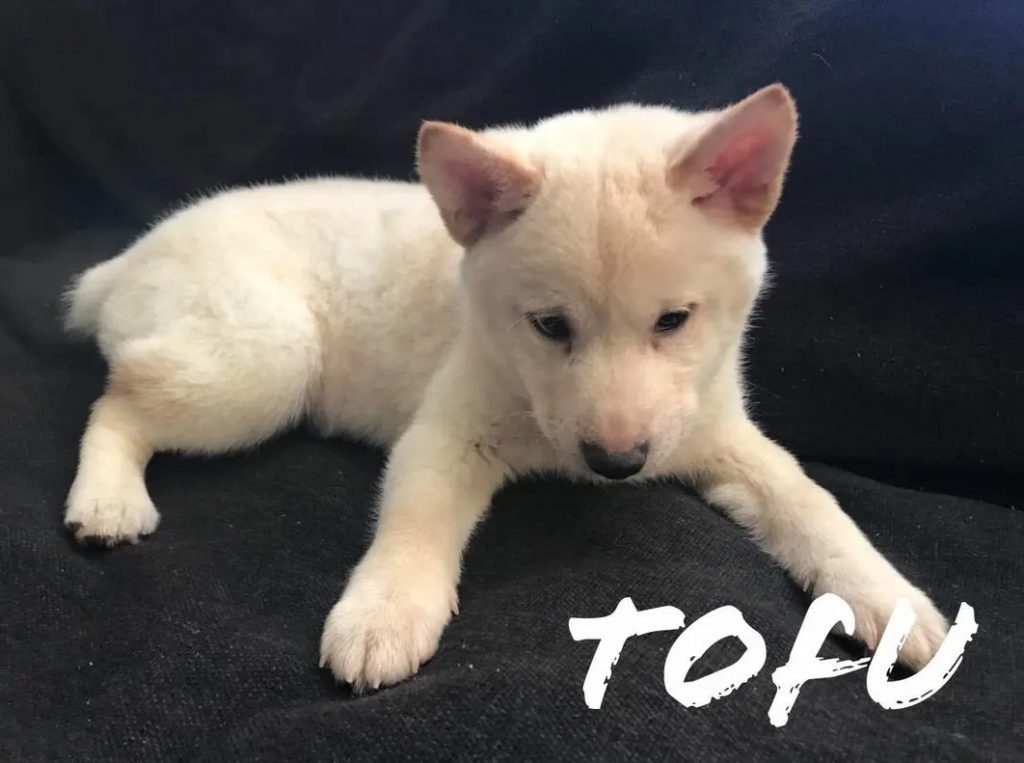 cute shiba inu puppy white color breeds