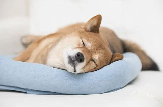 Shiba Inu sleeping on the blanket