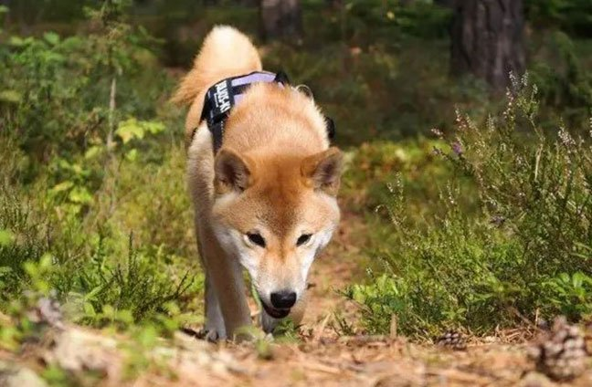 Shiba Inu trained to smell by scent