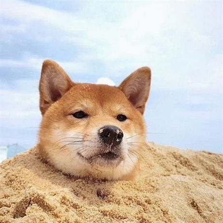 Shiba Inu in cool and relaxing sand on the beach