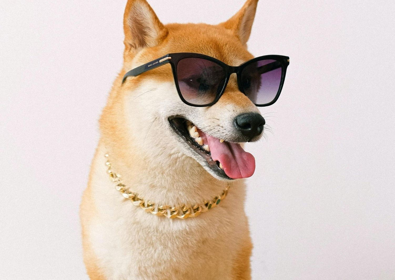 Shiba Inu wearing sun glasses with golden necklace
