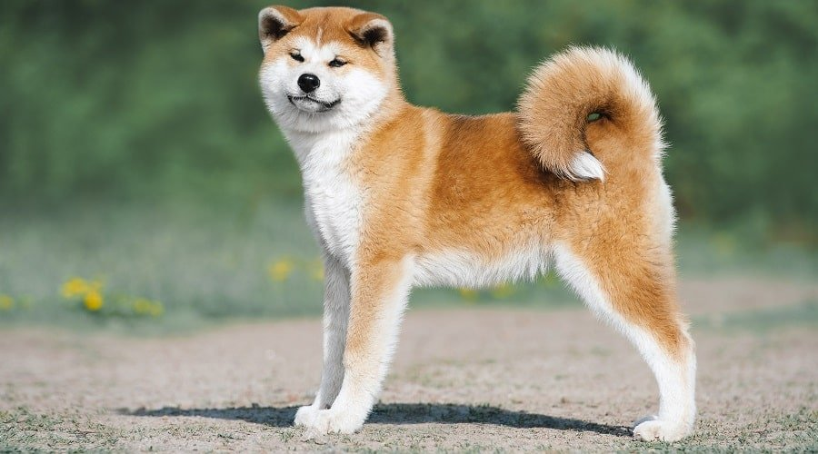 Shiba inu stands confidently
