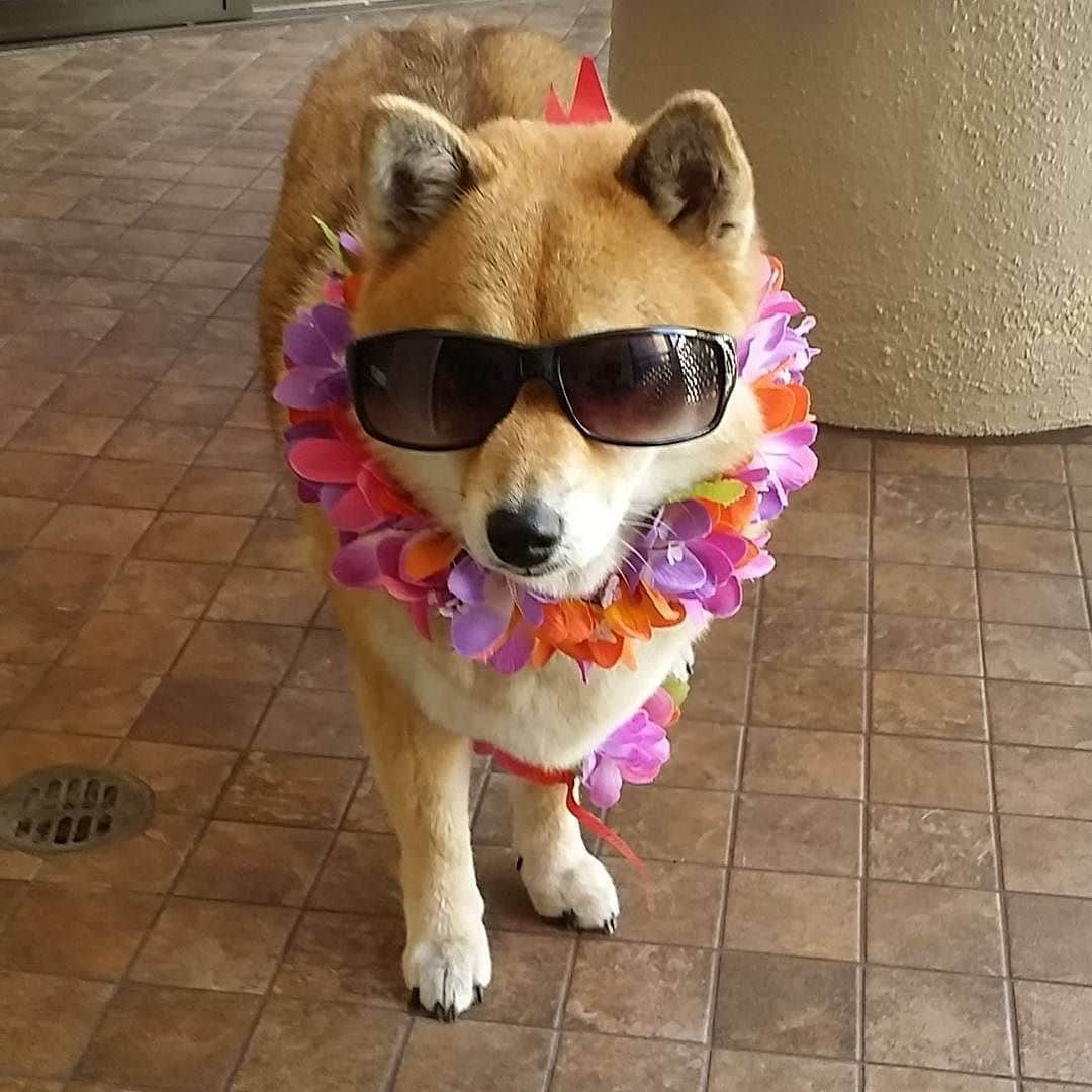 cute shiba inu wearing sun glasses with necklace of flowers