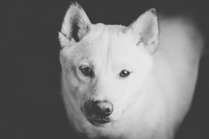 White shiba inu staring on you