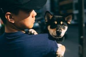 cute shiba inu puppy holding by a boy