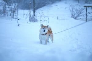 shiba inu loved to play in the deep snow on a beautiful winter