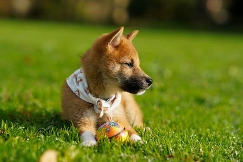 cute shiba inu puppy playing a ball in the play ground