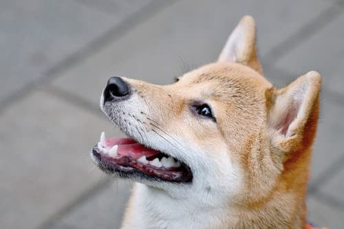 shiba inu look up with the smile on the face