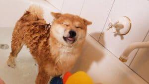shiba inu dog bath
