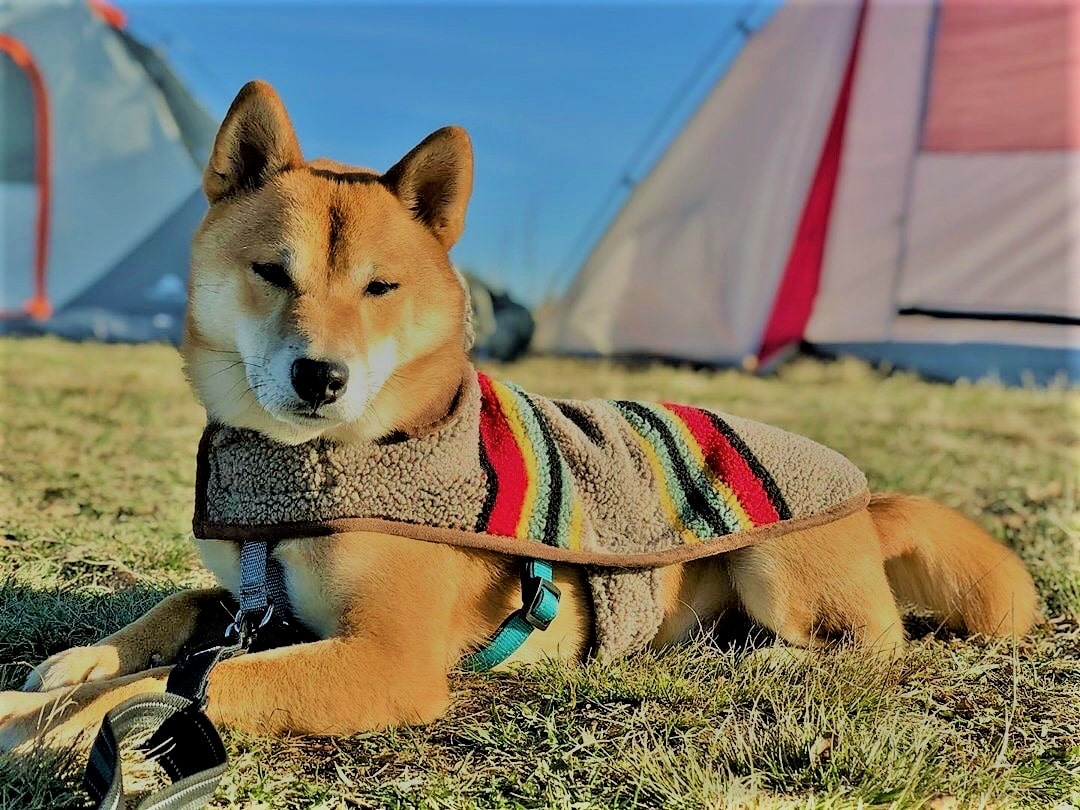 shiba inu camping