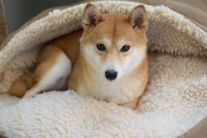 shiba inu memory foam dog bed