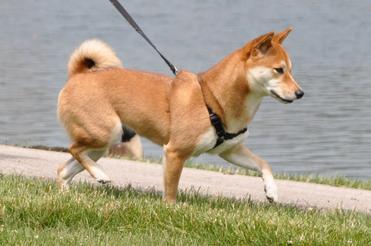 shiba inu walking leash