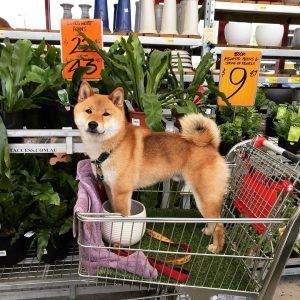 shiba inu owners shopping list