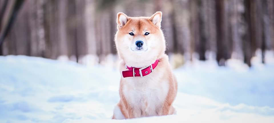 Shiba Inu Warm for the Winter