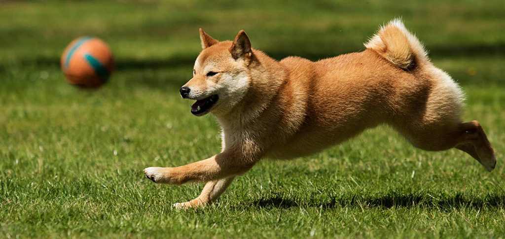 Exercising Your Shiba Inu