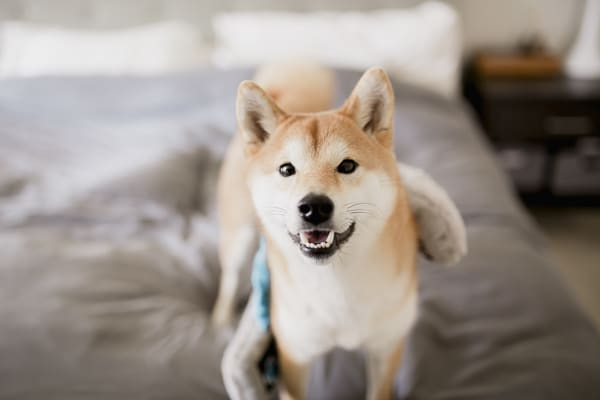 top Your Shiba Inu from Jumping